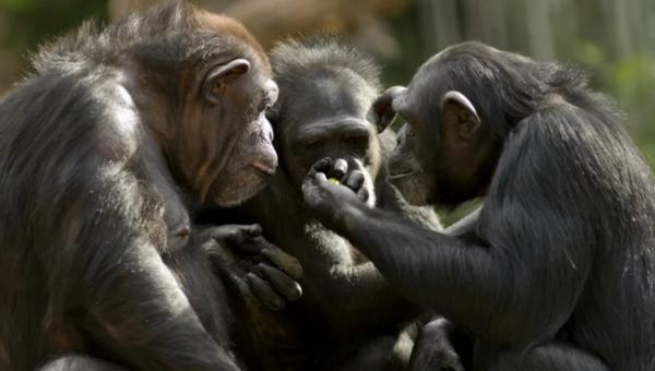 As fêmeas de chimpanzés têm um papel muito mais importante do que era imaginado
