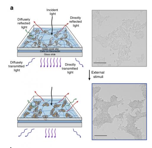 Células humanas com poder de invisibilidade, como as da lula, são criadas por cientistas