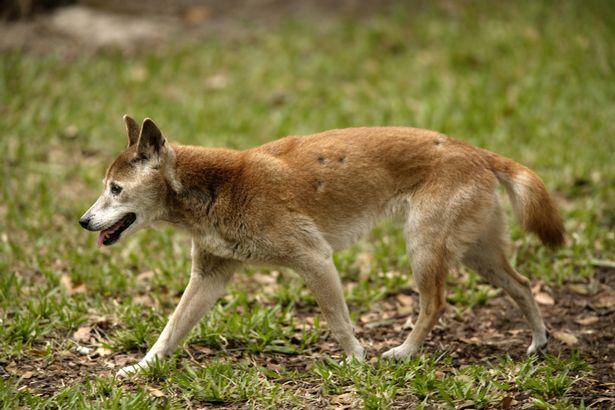 """Raro """"cachorro cantor"""", considerado extinto há 50 anos, reaparece na natureza"""
