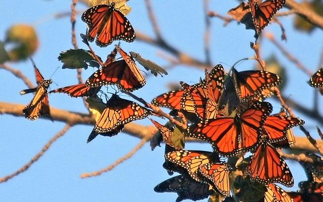 Borboleta-monarca se orienta apenas pelo Sol durante migração - Ciência - iG