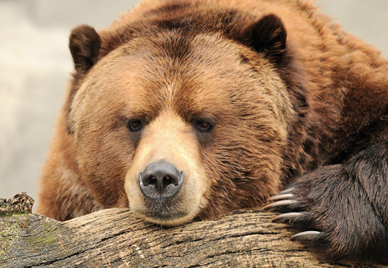 Urso, Urso-pardo, Ver, Focinho, Animais | Urso pardo, Urso marrom, Urso