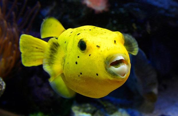 E2AA2N Principality of Monaco, Monaco, the oceanographic museum, Fugu (Takifugu rubripes) or japanese pufferfish, venomous
