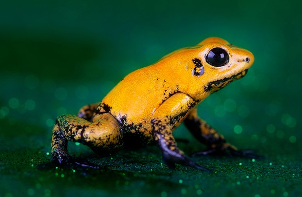 Poisonous Golden Dart Frog, South America