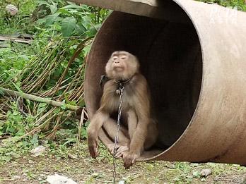 Lojas descartam produtos de leite de coco após acusação de trabalho escravo de macacos