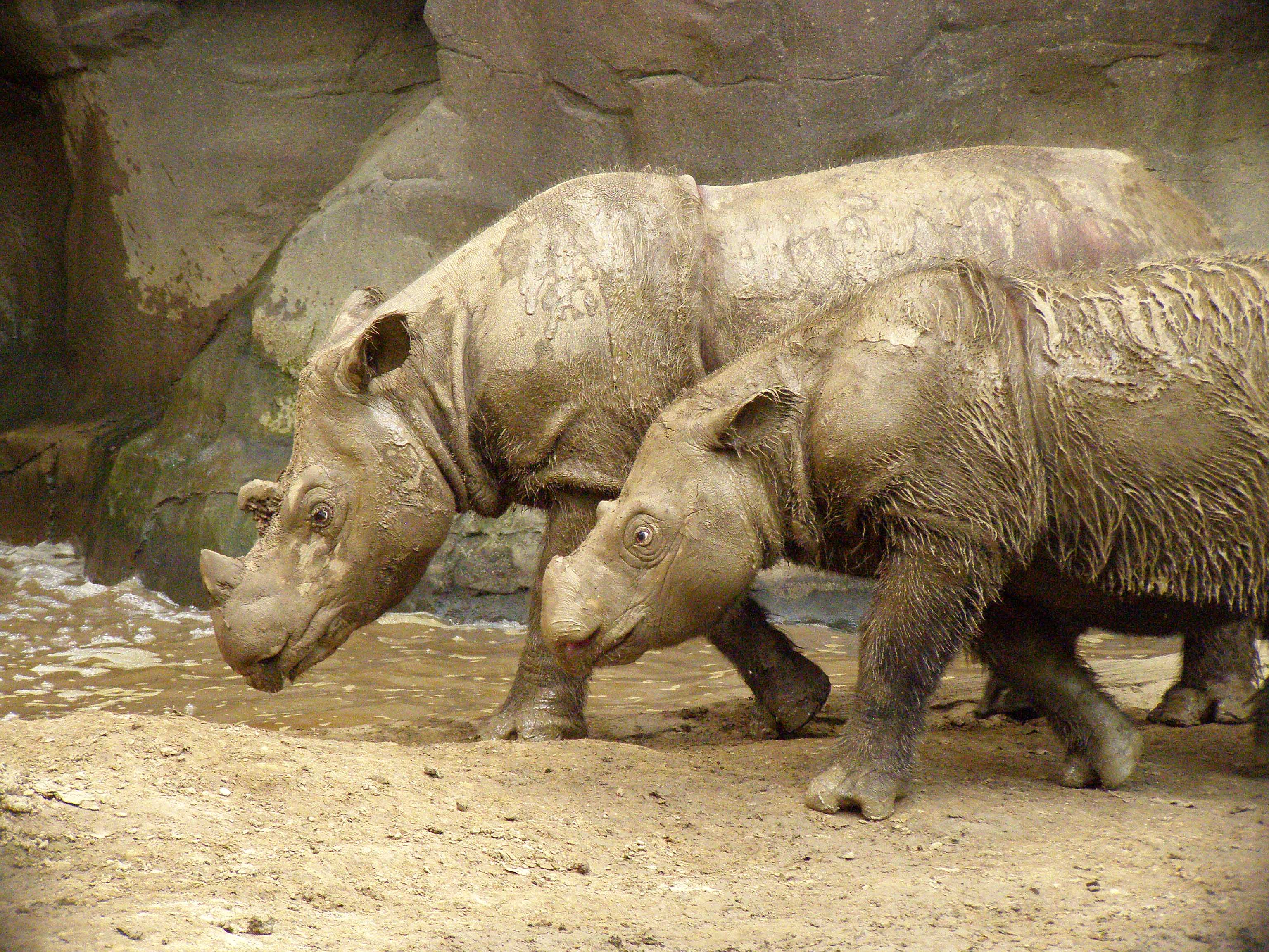 Rinoceronte-de-sumatra – Wikipédia, a enciclopédia livre