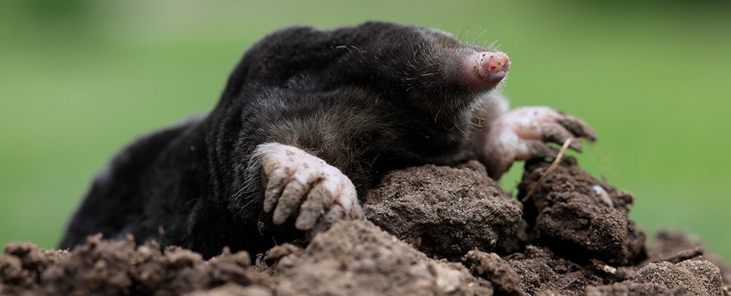Female Moles Grow Testicles to Fight Through Their Brutal Underground  Existence