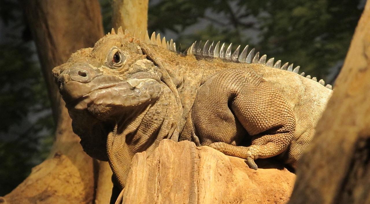 Iguana Jamaicana Réptil Raros Vida - Foto gratuita no Pixabay