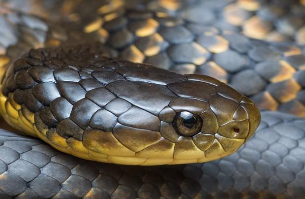 Tiger Snake - Notechis scutatus - Perth region Western Australia.