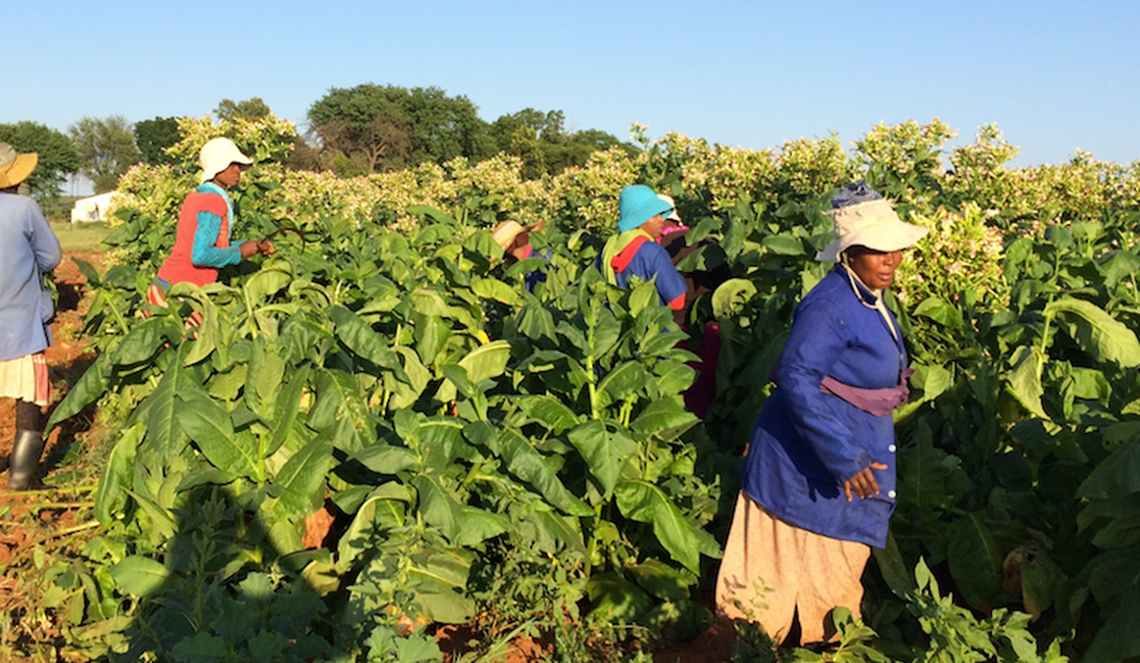 The hybrid Solaris tobacco plant was developed as an energy-producing crop that South African farmers can grow instead of traditional tobacco.