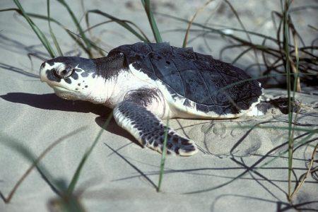 Ovos falsos de tartaruga marinha revelam rotas comerciais secretas dos caçadores