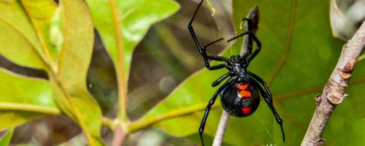 O que acontece com quem é picado por uma aranha viúva-negra? - Mega Curioso