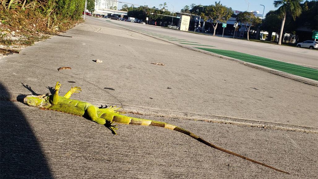 Como lagartos frígidos caindo das árvores revelaram a crescente tolerância ao frio dos répteis