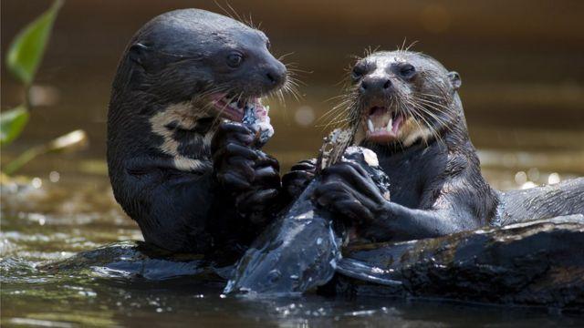Como um estilo de vida ajudou a levar uma espécie de lontra à quase extinção
