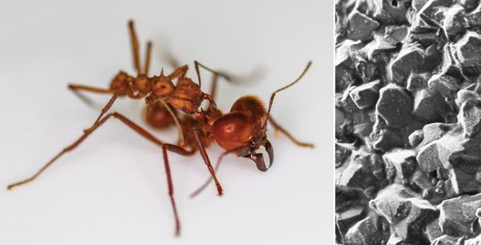 A armadura mineral ajuda algumas formigas cortadeiras a vencerem lutas com parentes maiores