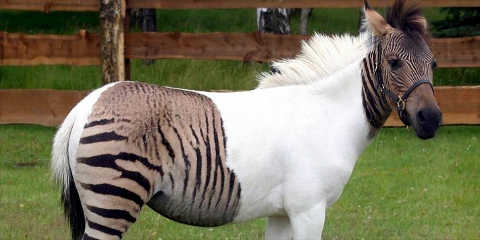 7 animais híbridos que são realmente reais