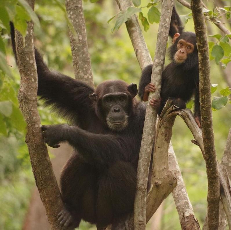 Hábitat variável ligado a diversas habilidades do chimpanzé