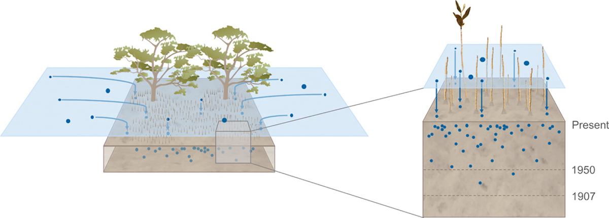 Florestas de manguezais funcionam como sumidouros de plástico