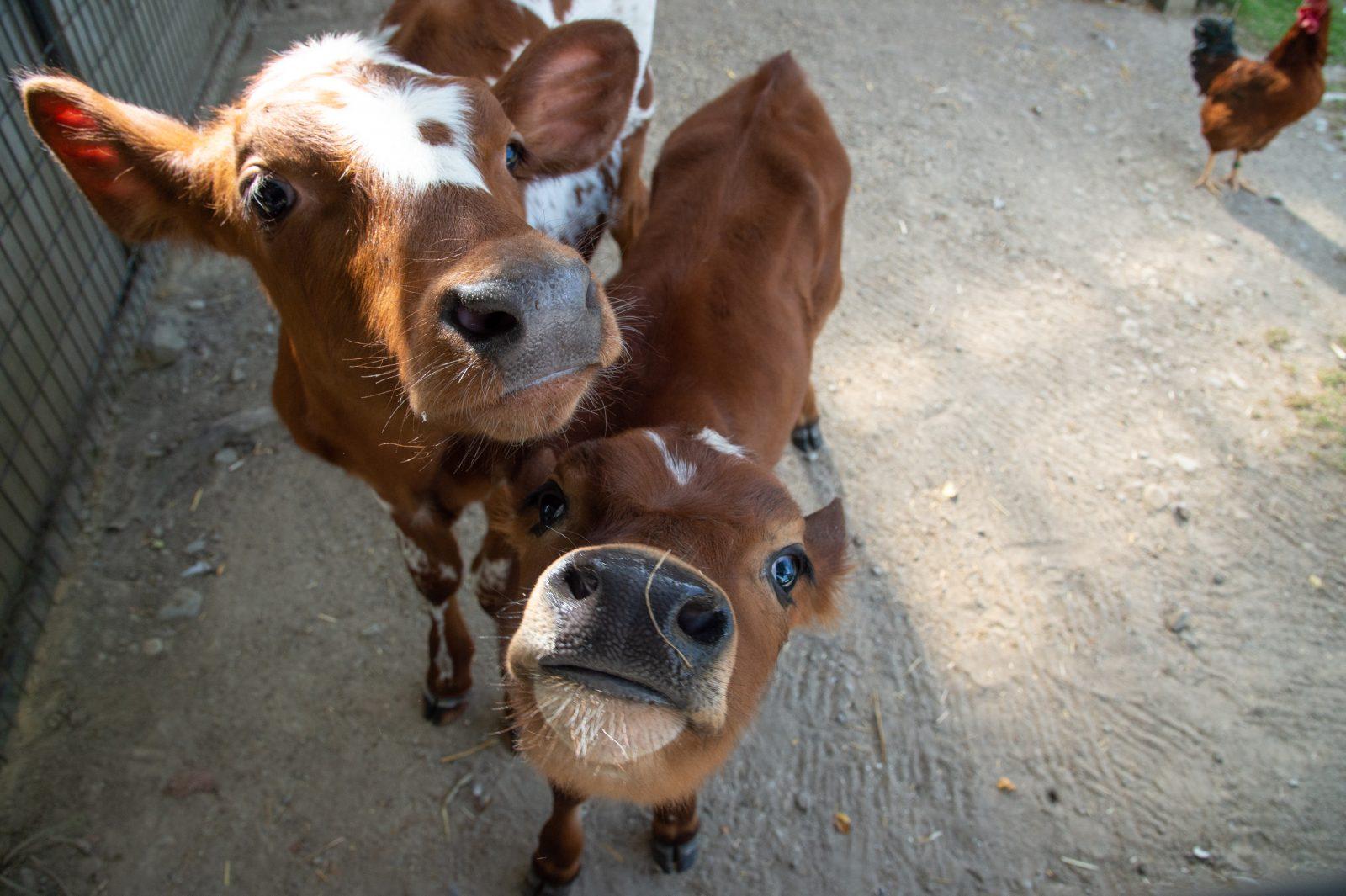 Dois bezerros resgatados da indústria de laticínios fazem amizade