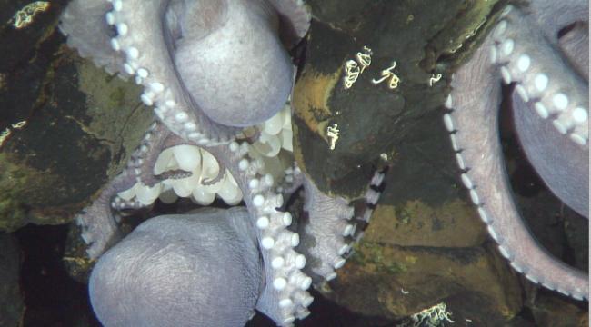 Uma viagem de geologia do fundo do mar levou pesquisadores a um viveiro de polvos