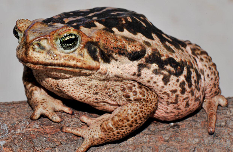 Os predadores de Madagascar são provavelmente vulneráveis a sapos tóxicos