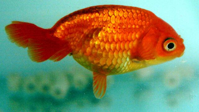 Os estranhos genomas de peixes domesticados