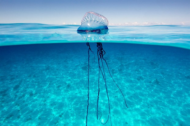 Água-viva: criaturas antigas com muito a oferecer