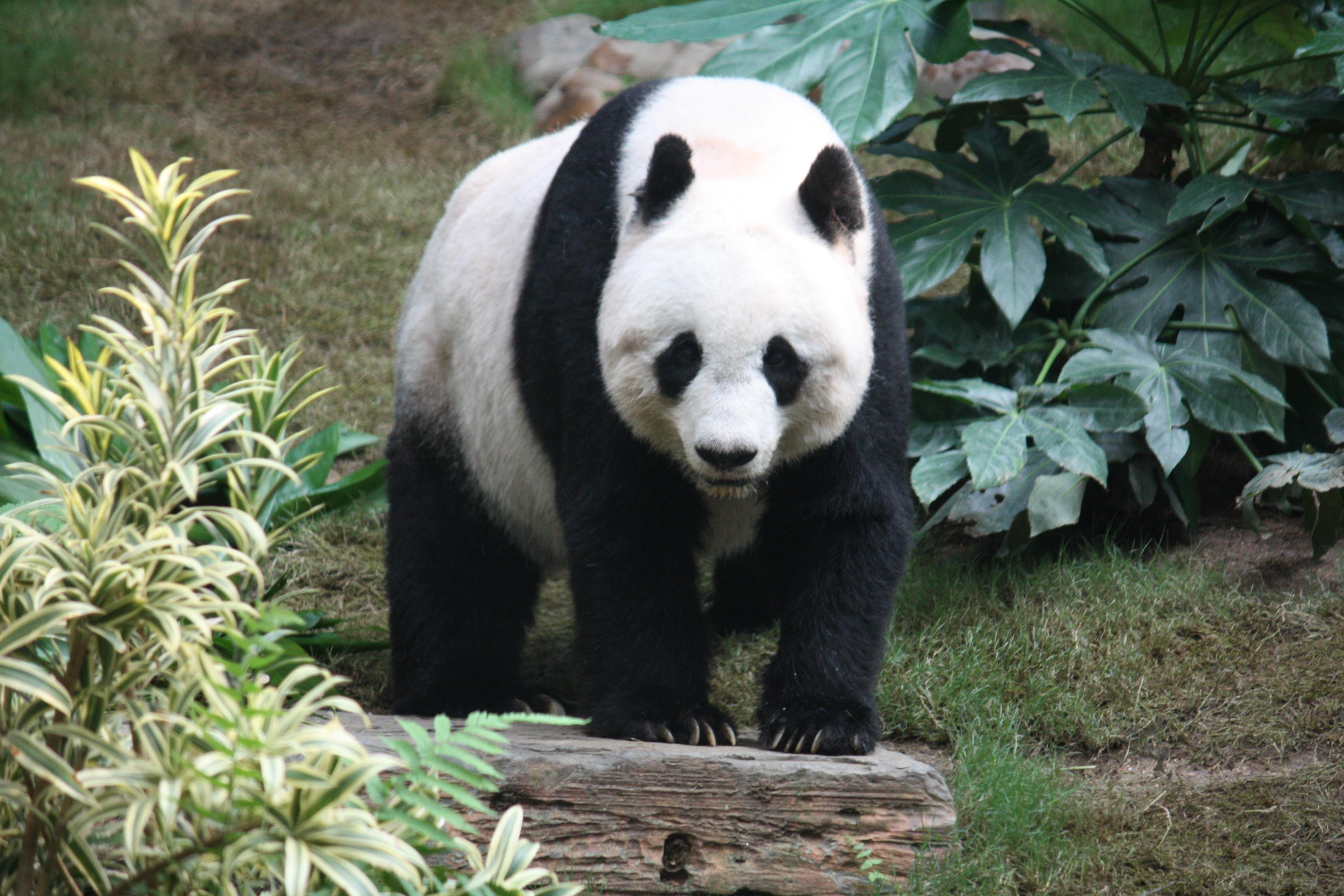 Você conhece os Pandas Gigantes?
