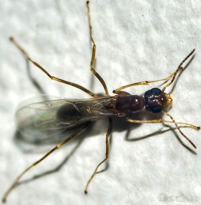 10 fatos sobre Formigas voadoras