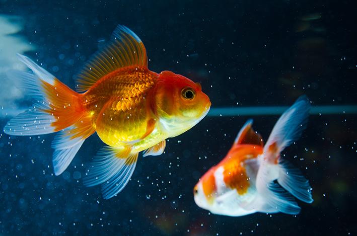 Você que a memória do seu peixe dourado dura mais de três segundos?