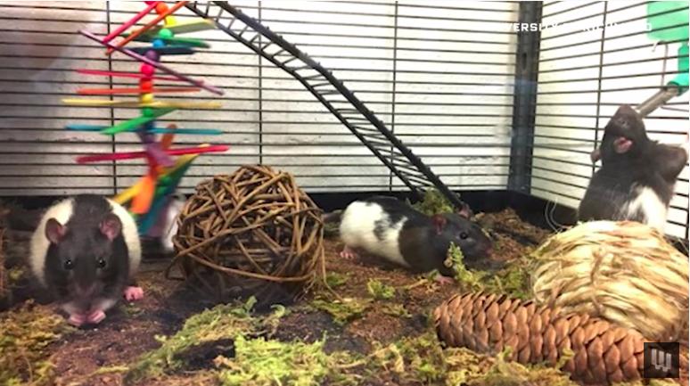 Cientistas dizem que dirigir carros minúsculos ajuda os ratos a relaxar