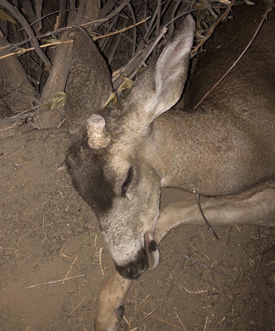 Uma comunidade se une para salvar um cervo ferido cujos chifres estavam emaranhados em uma rede de arame