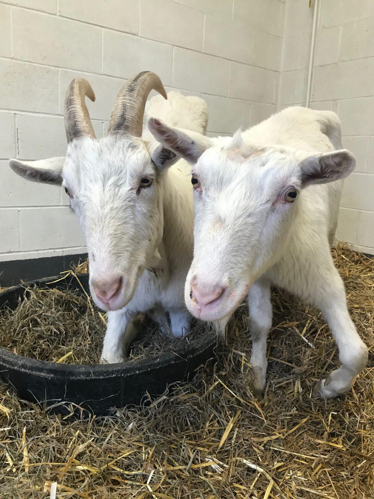 Par de cabras com necessidades especiais encontram um lar permanente
