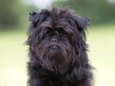 Os melhores cães de apartamento: as 9 escolhas absolutamente melhores