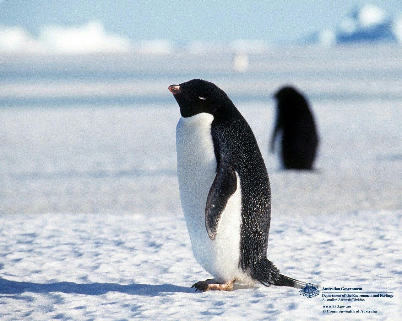 Fezes podem determinar a dieta de pinguins