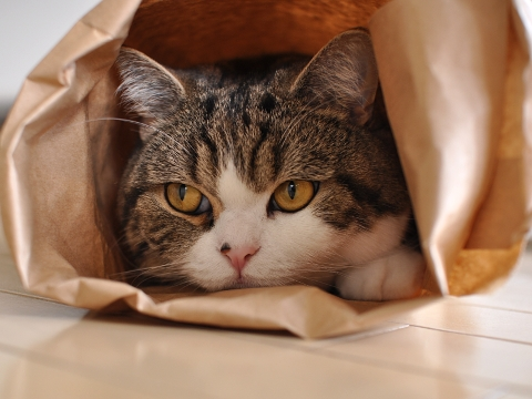 Os genes do gato podem explicar suas nove vidas?