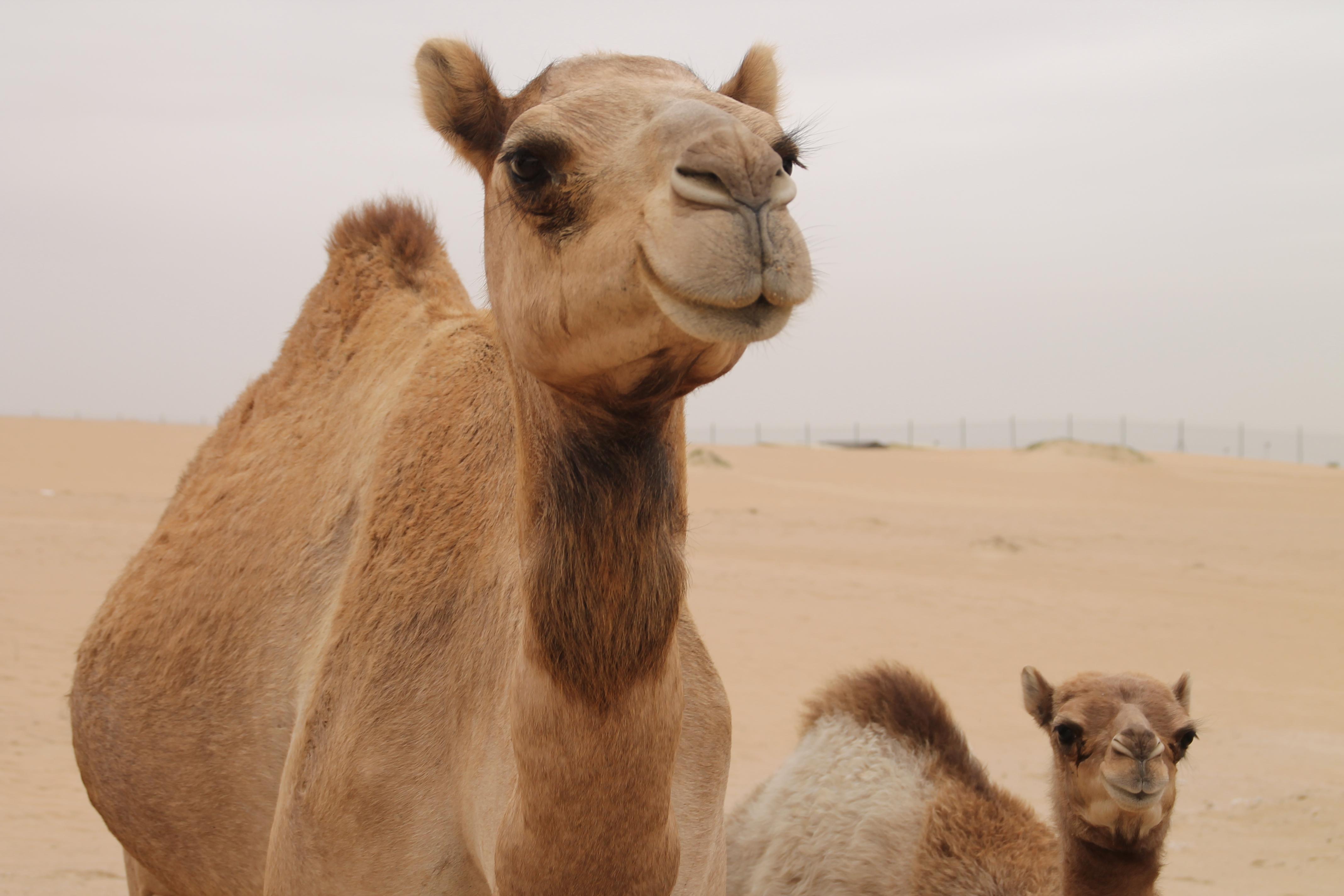 Camelos do deserto inspiram uma nova tecnologia de resfriamento