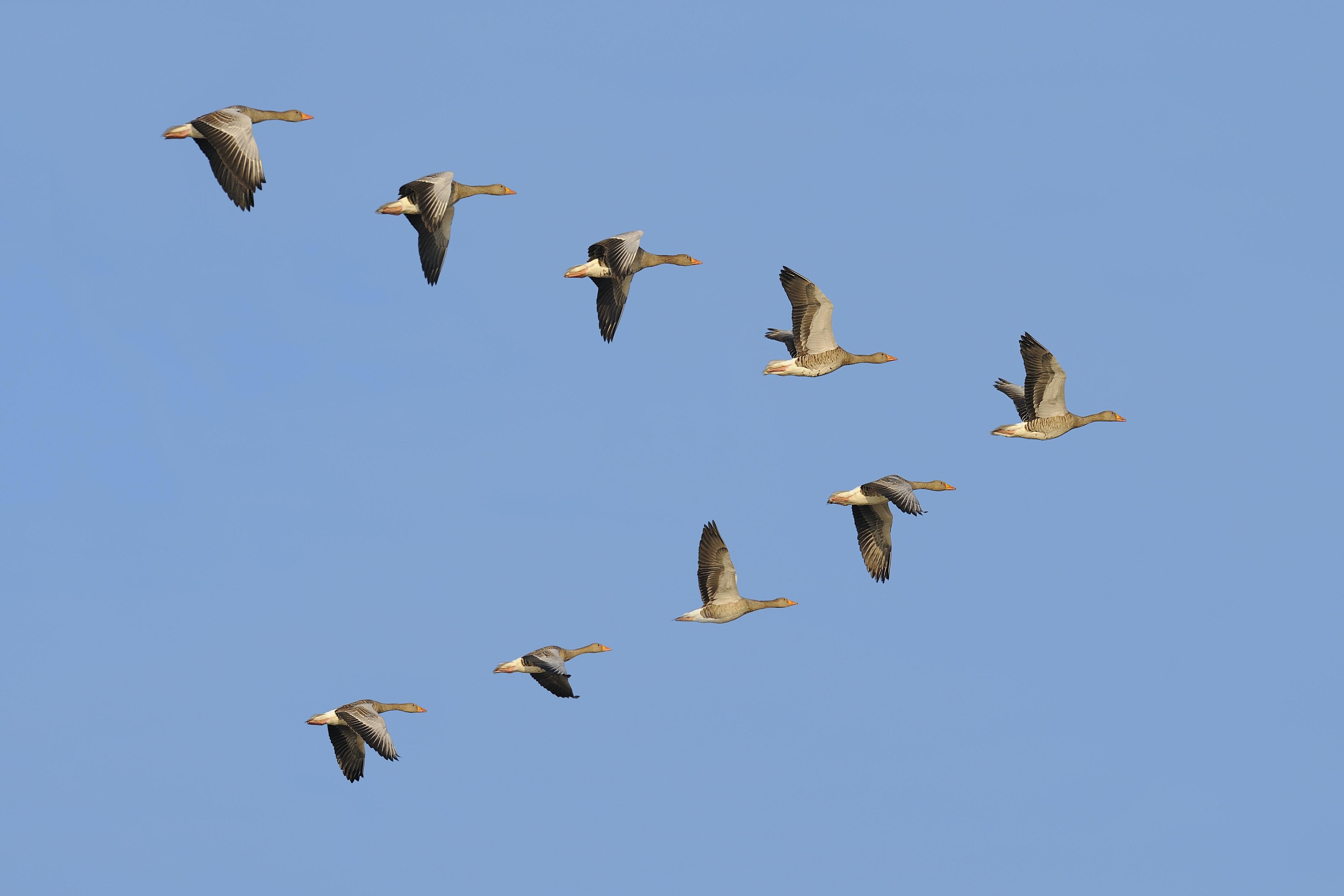 Como os gansos sabem voar para o sul no inverno?