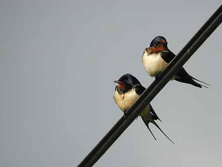 Alguns pássaros com cérebros pequenos não são tão tolos