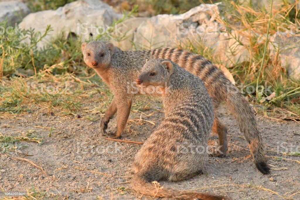 Mulheres de mangusto em faixas enviam sua matilha para a guerra ... e depois fazem sexo com o inimigo