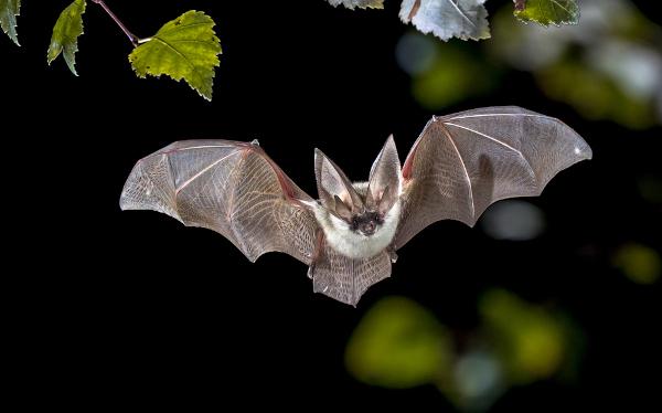 Morcegos fêmeas regurgitam jantares sangrentos para suas amigas famintas