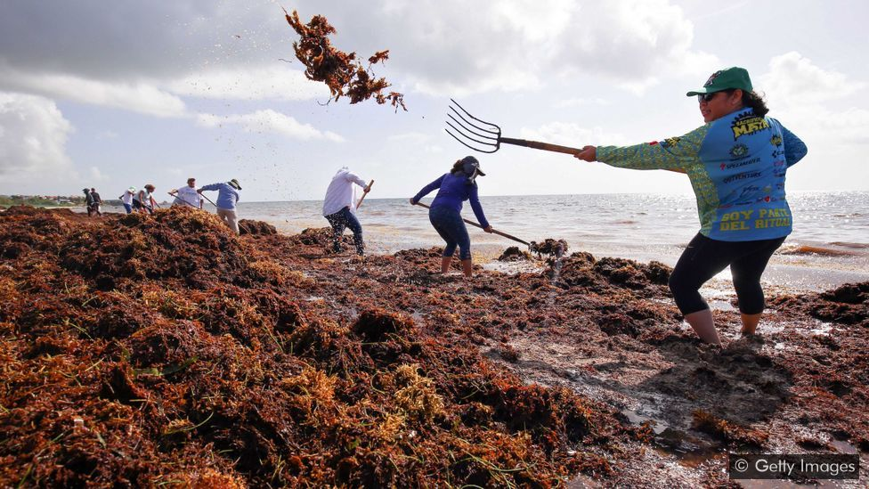 As algas que inundam o Oceano Atlântico