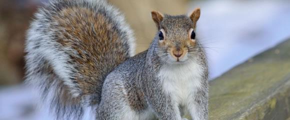 Você conhece o Esquilo terrestre da Califórnia?