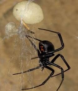 Soro brasileiro garante recuperação rápida de picada de aranha viúva-negra