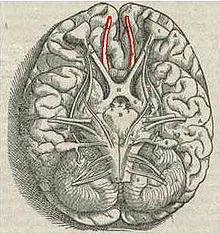 O olfato mais apurado das mulheres pode ser devido a mais células cerebrais