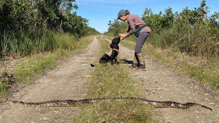 Os cães são a arma mais recente na batalha da Flórida contra pítons gigantes invasores
