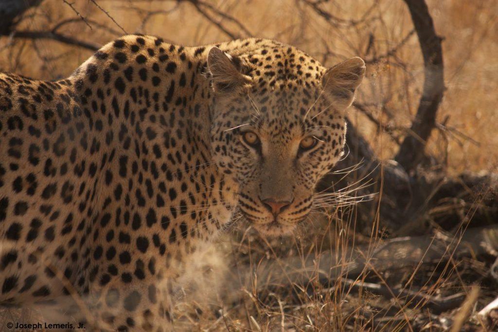 Estudo explora a combinação de padrões animais complexos