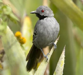 Aves tropicais evoluíram lentamente