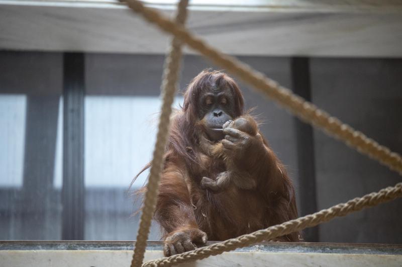 Pairi Daiza dá as boas-vindas ao nascimento de um orangotango bebê