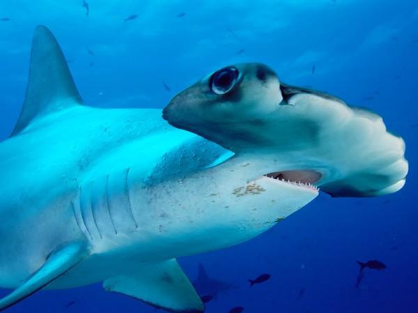 Centenas de espécies de tubarões estão agora ameaçadas de extinção