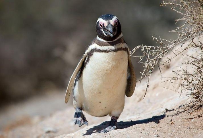 O mistério dos pinguins mais solitários do mundo
